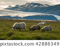 sheep in a field and Vatnajokull glacier Iceland 42886349
