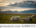 sheep in a field at Vatnajokull glacier Iceland 42886355