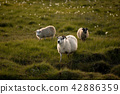 sheep in a field at Vatnajokull glacier Iceland 42886359