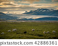 sheep in a field and Vatnajokull glacier Iceland 42886361