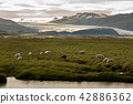 sheep in a field and Vatnajokull glacier Iceland 42886362