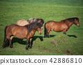 Icelandic Horses in summer Iceland 42886810
