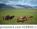Icelandic Horses in summer Iceland 42886811