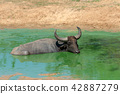 Water buffalo are bathing in a lake 42887279