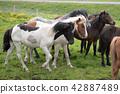 Icelandic Horses in summer Iceland 42887489