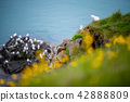 Beautiful seagulls on cliff in Olafsvik ,Iceland. 42888809