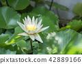 Photo of white lotus blooming 42889166