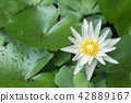 Photo of white lotus blooming 42889167