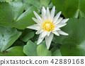 Photo of white lotus blooming 42889168