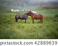 Icelandic Horses in summer Iceland 42889639