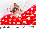 Cute chihuahua puppy sleeping with teddy bear on t 42892293