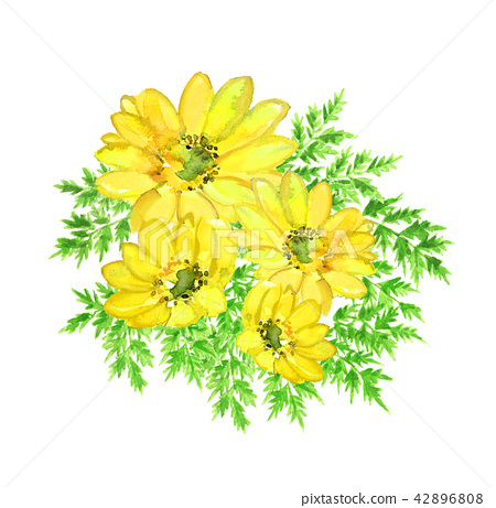 Amur adonis New Year's card Yellow flower White background [Watercolor illustration] 42896808