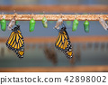 Hanging butterflies and cocoons 42898002
