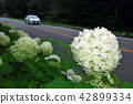 hydrangea, bloom, blossom 42899334