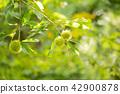 chestnut, chestnuts, japanese chestnut 42900878