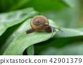 Snail crawling on green leaf after rain 42901379