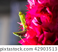 Praying mantis on Bougainvillea 42903513
