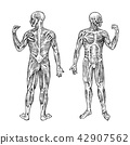 Human anatomy. Muscular and bone system. Male body Vector illustration for science, medicine and 42907562