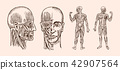 Human anatomy. Muscular and bone system of the head. Medical Vector illustration for science 42907564