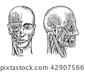 Human anatomy. Muscular and bone system of the head. Medical Vector illustration for science 42907566