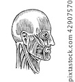 Human anatomy. Muscular and bone system of the head. Medical Vector illustration for science 42907570