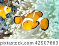 小丑anemonefish 42907663