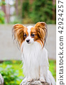 Portrait of a papillon purebreed dog 42924257