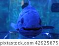 coelacanth 42925675