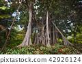 Jungle tree. Moreton bay Fig (Ficus Macrophylla) 42926124