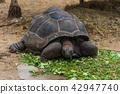An Aldabra giant tortoise eating green 42947740
