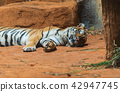 a Siberian tiger resting and relaxing 42947745