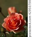 玫瑰花 玫瑰 薔薇 42950700