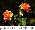 玫瑰花 玫瑰 薔薇 42950701