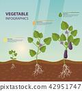 Eggplant or brinjal, aubergine infographic 42951747