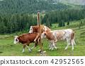 Cows Grazing in the Alps 42952565