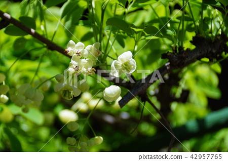 """흰색 꽃과 나무 통 시로바나아케비 꽃말은 """"재능"""" 42957765"""