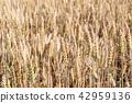 Wheat field background 42959136