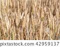 Wheat field closeup 42959137