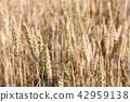 Almost matured wheat field closeup 42959138