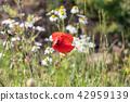 Red Poppy flower in focus 42959139