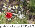 Red Poppy flower closeup 42959179