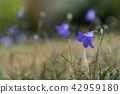 Single beautiful Bluebell flower 42959180