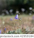 Single Bluebell flower 42959184