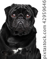 Pug. Close-up on white background 42959646