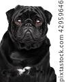 Pug. Close-up on white background 42959646