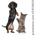 Dog and Cat together, standing on hind legs 42959650
