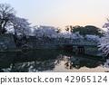 이른 아침의 국보 히코와 벚꽃 42965124