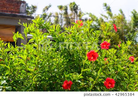 하 비 스커 스 꽃, Zhu Xi, 공원, 정원 42965384