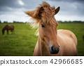 Icelandic Horses in summer ,Iceland. 42966685