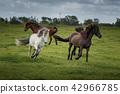 Icelandic Horses in summer ,Iceland. 42966785